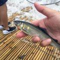 関東で子供と無料で遊べる川遊び!鮎のつかみ取りができる「やな」を那珂川で体験